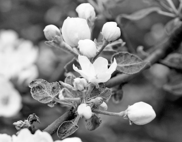 Apple blossoms in black and white. Read about how to create abstract botanical art!