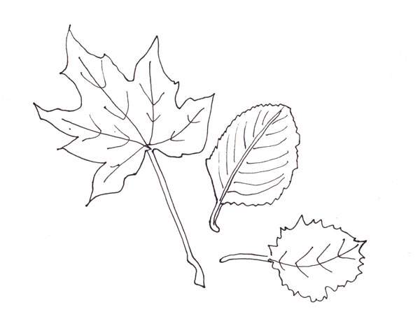 three leaves, a realistic line drawing