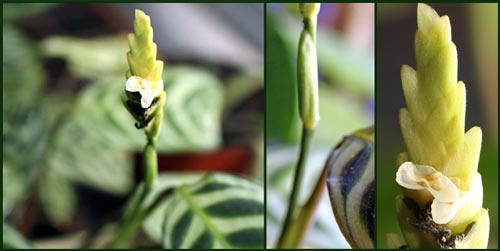 Blossoming house plant