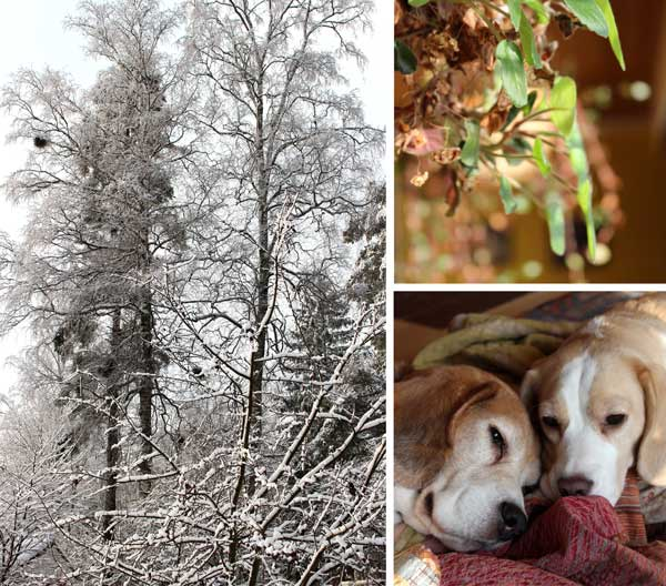 Snapshots from Finland, snow, beagles, houseplants