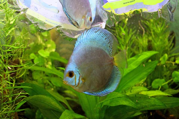 Blue Diamond discus fish