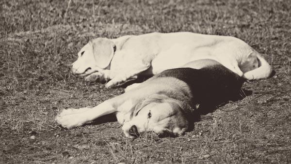 Happy beagles, Finland