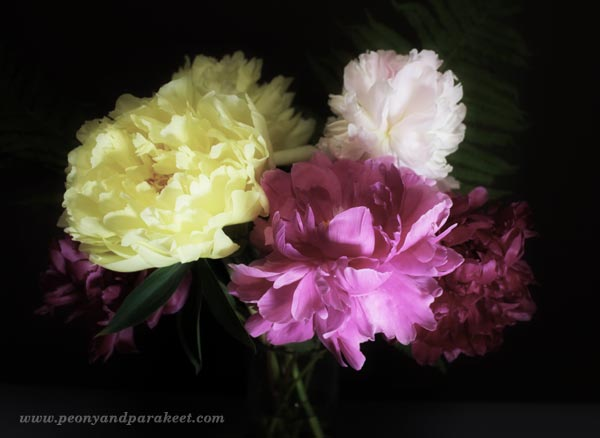 Finnish peonies grown under the midnight sun. By Peony and Parakeet.
