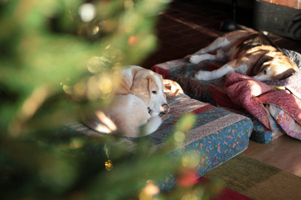 Beagles at Christmas. By Peony and Parakeet.