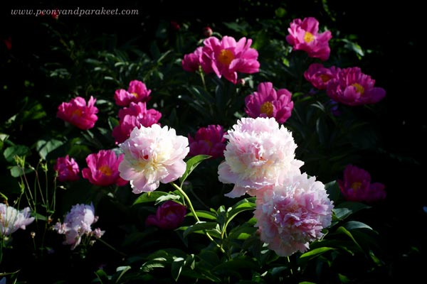 Blooming peonies. Eden's Perfume in the front.