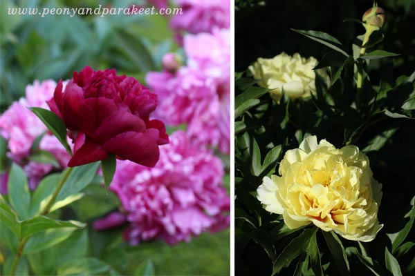 Blooming peonies. Hei Hao Bo Tao and Bartzella.