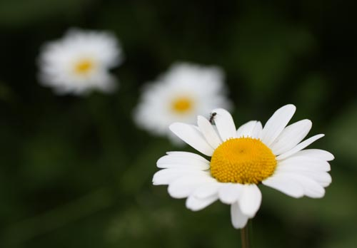 Daisies and an ant