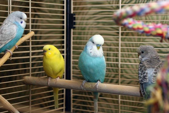 Paivi Eerola's fours budgies. Read about her life as an artist working from home.
