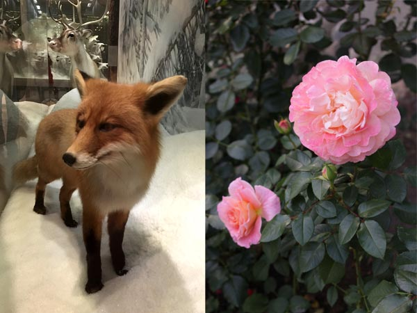 A fox and a rose. Photography by Paivi Eerola from Peony and parakeet.