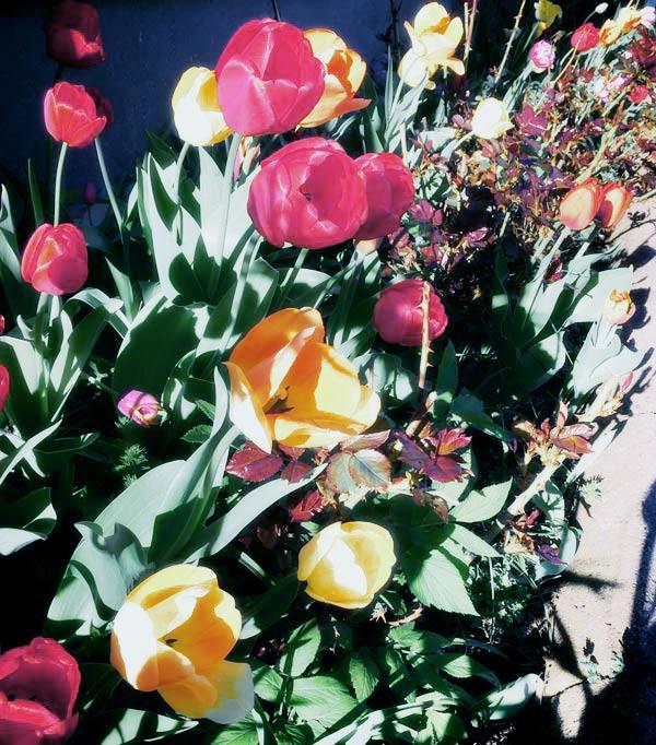 Tulips in a garden.