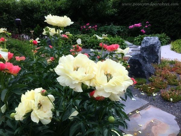 Peonies in Japanese Garden