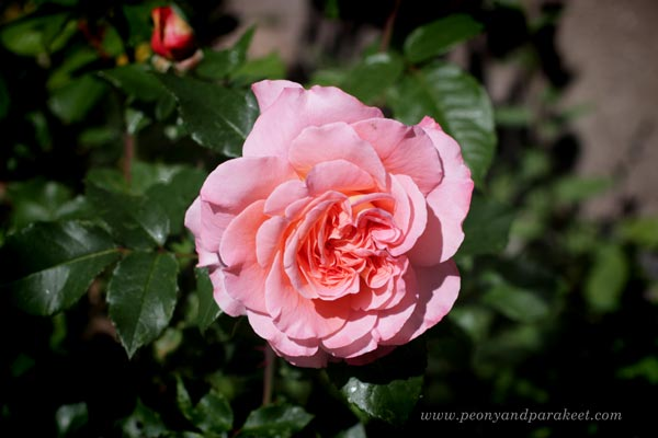 Rose in the garden