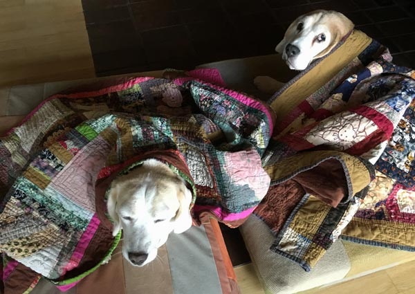 Beagles under quilts in the fall