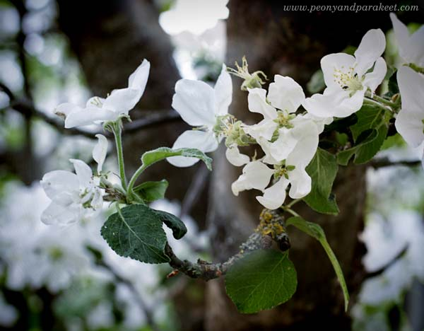 Apple blossoms. A flowering tree.