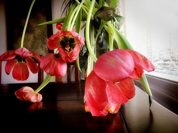 The beauty of withering tulips.