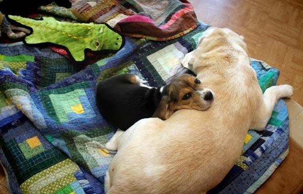 Beagles as artist's studiodogs.